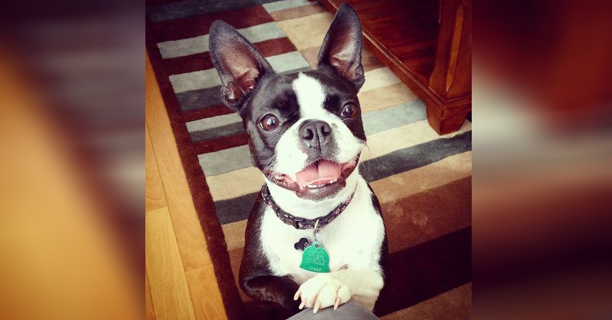 Boston Terrier S In Crate Dog Owner