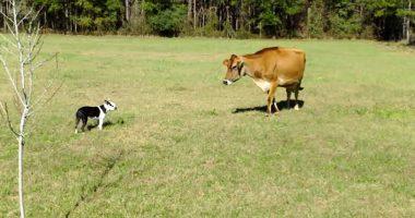 boston-terrier-cow 1