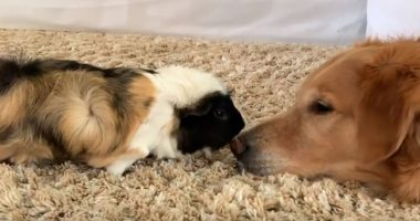 Golden Retriever And Guinea Pig Friends Can't Get Enough Of Each Other cover