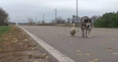 Malamute And Duck Become Best Friends And Warm Hearts Everywhere cover