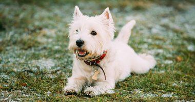 West Highland White Terrier - Westie, Westy Dog Play in Autumn G