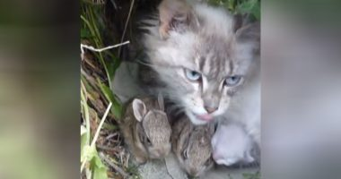 momma cat cares for orphaned bunnies cover