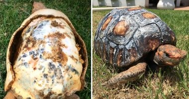 Tortoise Burned In Fire Gets Second Chance At Life, Receives Worlds First 3D Shell cover
