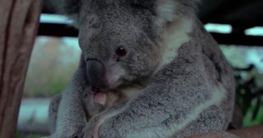 baby koala sees mom cover