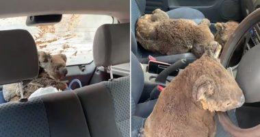 koalas car cover