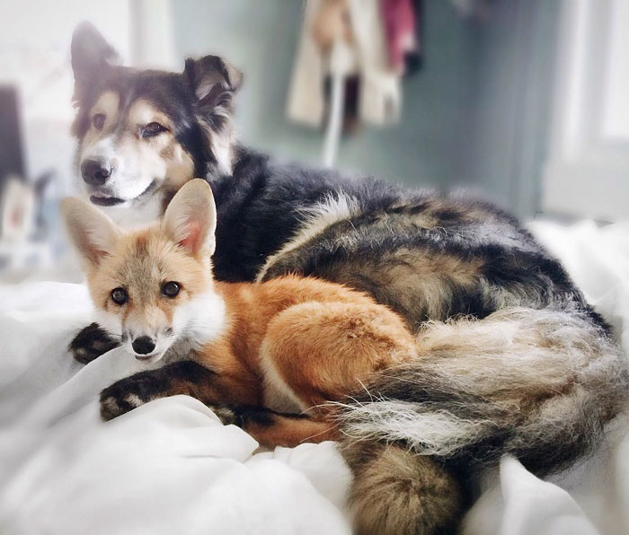 dog and fox friendship