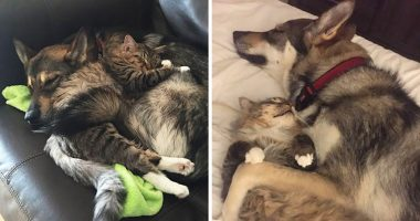 husky adopts kitty