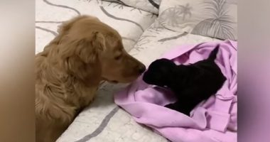 Excited Golden Retriever Meets His New Puppy Sister For The First Time