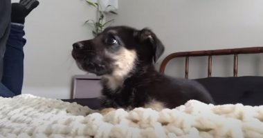 German Shepherd Puppy Talks Back Every Time Mom Says No Biting