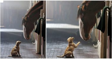 puppy and clydesdale