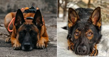 look alike breeds