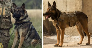 military and police dog breeds